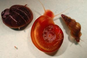schistosomiasis snail